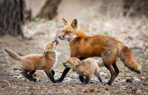 Red Fox Father