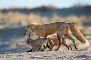 Red Fox Father with Kits