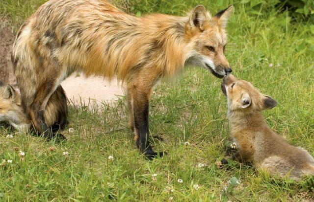foxes_edit